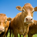 Cattle Market: Will Drought Keep Prices Up?